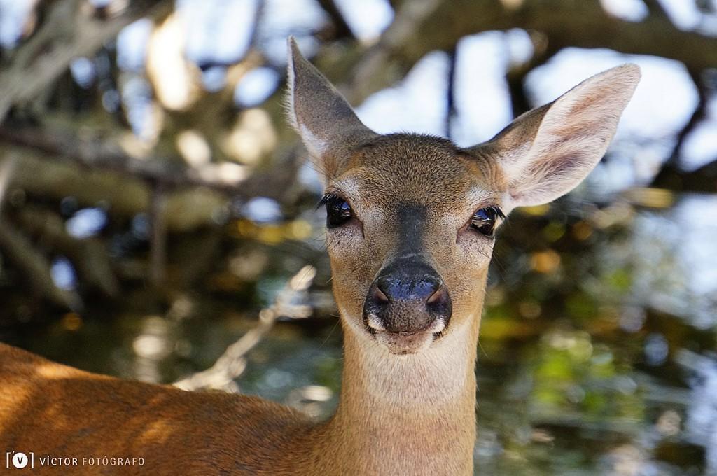 Ciervo de los Cayos Florida 2015